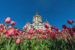 基督大教堂救主在莫斯科在春天有郁金香的 库存图片