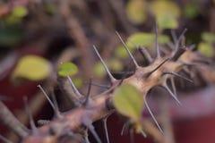 基督植物刺 免版税库存照片