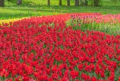 基辅,乌克兰- 2016年4月23日:红色和紫色郁金香花床在郁金香陈列的 免版税库存照片