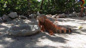 基韦斯特岛佛罗里达-鬣鳞蜥 库存图片