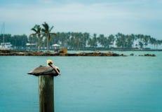 基韦斯特岛,佛罗里达-鹈鹕 免版税库存图片