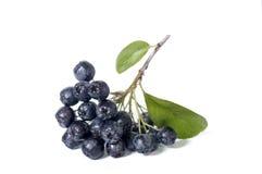 黑堂梨属灌木- aronia 免版税库存图片