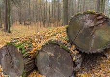 堆在干燥叶子下的老橡树日志 免版税库存照片