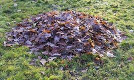 堆干燥橡木叶子秋天 背景,纹理 免版税图库摄影