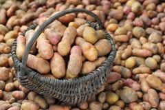 堆新近地被开掘的土豆和篮子 免版税库存图片