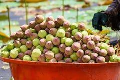 堆新鲜的未打开的绿色和桃红色莲花在桔子发芽 图库摄影