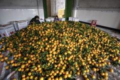 堆柑橘水果,许多桔子新的收获,妇女包装 库存照片