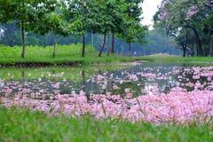 堆甜桃红色tabebuia花落入水表面在公园有绿色自然背景 库存图片