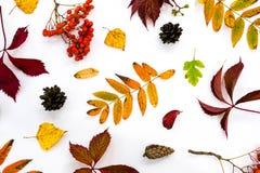 堆秋叶,杉木锥体胡说的结束白色背景 从秋天的汇集美好的五颜六色的叶子边界 免版税库存图片