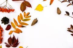 堆秋叶,杉木锥体胡说的结束白色背景 从秋天的汇集美好的五颜六色的叶子边界 免版税图库摄影
