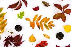 堆秋叶,杉木锥体胡说的结束白色背景 从秋天的汇集美好的五颜六色的叶子边界 图库摄影
