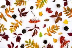 堆秋叶,杉木锥体胡说的结束白色背景 从秋天的汇集美好的五颜六色的叶子边界 库存照片