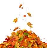 堆秋天槭树上色了叶子被隔绝 免版税库存照片