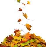 堆秋天槭树上色了叶子 图库摄影