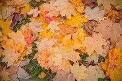 堆秋天红色和黄色槭树叶子 免版税图库摄影