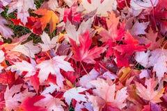 堆红槭在象草的地面上离开在秋天,一发光 免版税库存图片