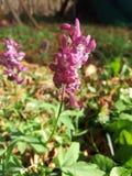 紫堇属 库存照片