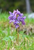 紫堇属Solida 库存照片