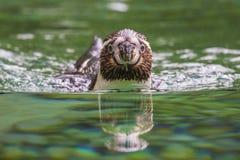 洪堡企鹅正面图 免版税库存照片
