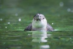 洪堡企鹅正面图 库存照片