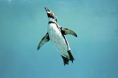 洪堡企鹅潜泳翼打开看 免版税图库摄影