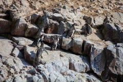 洪堡企鹅,蠢企鹅humboldti,国家公园Isla de Ballestas,秘鲁 免版税库存照片