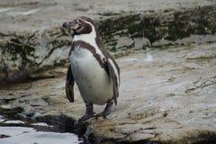 洪堡企鹅-蠢企鹅humboldti 库存照片