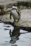 洪堡企鹅-蠢企鹅humboldti 免版税图库摄影