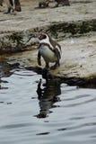 洪堡企鹅-蠢企鹅humboldti 免版税库存照片