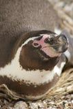 洪堡企鹅-蠢企鹅humboldti 免版税库存图片