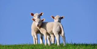 堤羊羔 库存图片