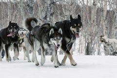 堪察加拉雪橇狗赛跑:猎狗雪撬队阿拉斯加的爱斯基摩 图库摄影