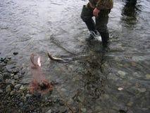 堪察加,俄国 虹鳟拉特 Oncorhynchus mykiss 钓鱼在堪察加 有雾的早晨 夏天 免版税图库摄影