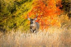 堪萨斯在温暖的秋天早晨日出的白尾鹿大型装配架 图库摄影