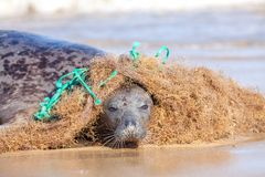 塑料海洋污染 在被缠结的尼龙钓鱼的n捉住的封印 免版税库存图片
