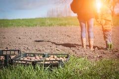塑料盒,收获或种植在一个农业领域的土豆 库存图片