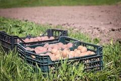 塑料盒,收获或种植在一个农业领域的土豆 免版税库存图片