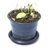塑料罐的一棵死的植物 免版税库存照片