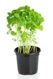塑料罐的年轻蓬蒿植物在白色 免版税库存照片