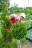 塑造与secateur的花匠一棵针叶树 免版税图库摄影