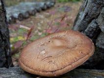 什塔克菇充分地开放与白栎木日志 库存图片
