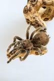 塔兰图拉毒蛛在树干的Grammostola rosea, 库存图片