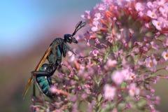 塔兰图拉毒蛛在桃红色花的鹰黄蜂 库存照片
