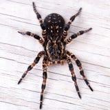塔兰图拉毒蛛蜘蛛顶视图  免版税库存照片