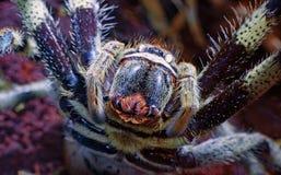 塔兰图拉毒蛛蜘蛛 免版税库存照片