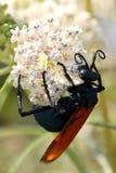 塔兰图拉毒蛛鹰黄蜂 库存图片