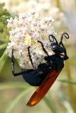 塔兰图拉毒蛛鹰黄蜂 库存照片