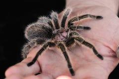 塔兰图拉毒蛛1 库存图片