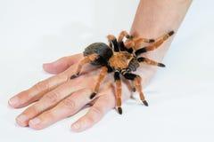 塔兰图拉毒蛛Brachypelma boehmei在手背面 免版税库存图片