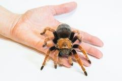 塔兰图拉毒蛛Brachypelma boehmei在手边 库存图片